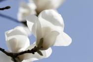 Magnolia,White,Flower,Branc...