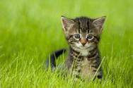 Domestic Cat,Kitten,Pets,Gr...