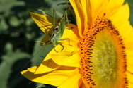 Insect,Locust,Macro,Grassho...