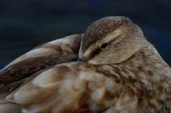 Duck,UK,Sleeping,Animals In...