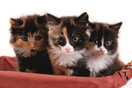 Kitten,Studio,Gray,Backgrou...