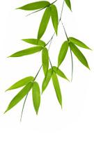 Bamboo,Bamboo,Bamboo Shoot,...