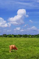 Inside Of,Field,Cow,Domesti...