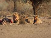 Lion - Feline,Pride Of Lion...