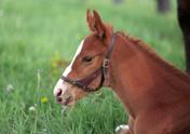 Horse,Foal,Harness,Populati...