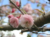 Cherry Blossom,Pink Color,N...
