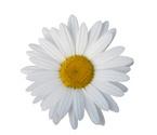 Single Flower,Daisy,White,D...