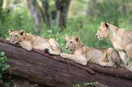 Lion - Feline,Lake Nakuru,R...
