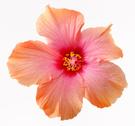 Flower,Single Flower,Hibisc...