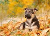 Autumn,Dog,Puppy,German She...