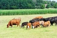 Crop,Beef Cattle,Cattle,Cow...