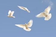 Dove - Bird,Bird,Flying,Whi...