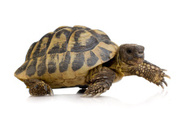 Tortoise,Reptile,Slow,Anima...