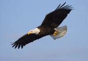 Eagle - Bird,Flying,Bald Ea...