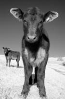Aberdeen Angus Cattle,Cow,B...