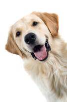 Dog,Golden Retriever,Labrad...