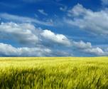 Barley,Field,Wheat,Landscap...