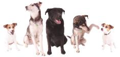 Dog,Pets,Puppy,Cheerful,Gro...