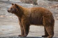 American Black Bear,Bear,Pr...