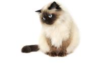 Domestic Cat,Himalayan Cat,...