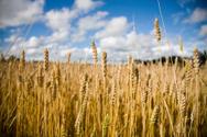 Wheat,Farm,Crop,Harvesting,...