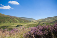 Heather,Brecon Beacons,Wale...