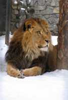 Snow,Lion - Feline,Animal,A...