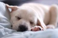 Dog,Sleeping,Labrador Retri...