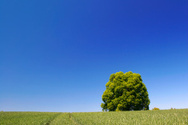 Lime Tree,Landscaped,Field,...