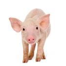 Pig,Piglet,Animal,Livestock...