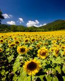 Sunflower,Field,Sunset,Farm...