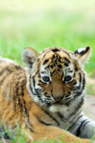 Tiger,Cub,Young Animal,Anim...