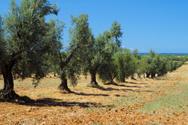 Olive Tree,Tree,Orchard,Tus...