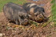 Pig,Eating,Dirty,Pot-bellie...