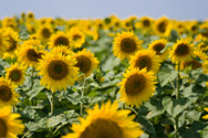 Sunflower,Field,Majestic,No...