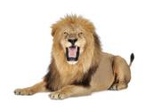 Lion - Feline,Roaring,Isola...