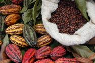 Cacao Fruit,Cocoa Bean,Frui...