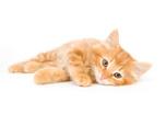Domestic Cat,Lying Down,Tir...