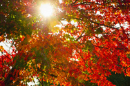 Autumn,Sun,Tree,Leaf,Sunlig...