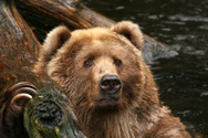 Bear,Water,Looking,Animal,A...