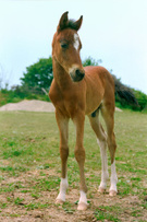 Foal,Pony,Horse,Farm,warmbl...