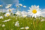 Flower,Daisy,Springtime,Fie...