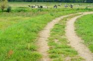 Herd,Cow,Road,Non-Urban Sce...