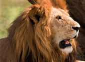 Kenya,Lion - Feline,Animals...