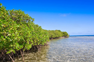 Mangrove Tree,Forest,Spring...
