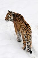 Tiger,Bengal Tiger,Snow,Sum...