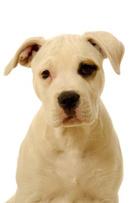 Pit Bull,Pit Bull Terrier,D...