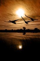 Hunting,Goose,Migrating,Bir...