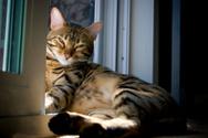 Bengal Cat,Domestic Cat,Hea...