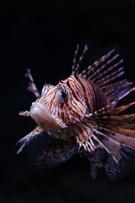 Lionfish,Zebrafish,Sea,Fish...
